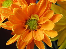 Marguerite orange Images stock