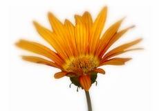 Marguerite orange Photographie stock libre de droits