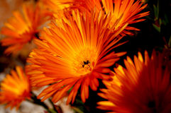 Marguerite orange Photo libre de droits