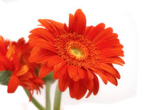 Marguerite orange de gerber Photo stock