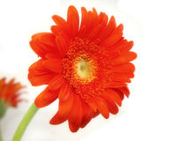 Marguerite orange de gerber Photo libre de droits