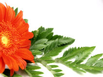 Marguerite orange de gerber Photos stock