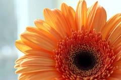 Marguerite orange de gerber Images stock