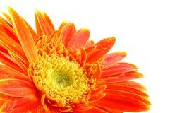 Marguerite orange de gerber Photos libres de droits