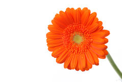 Marguerite orange de Gerber sur le blanc Photos stock