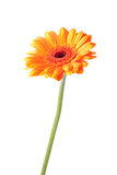 Marguerite orange de gerbera Photos stock