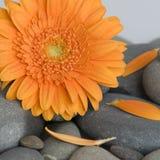 Marguerite orange de gerbera Image libre de droits