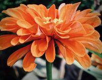 Marguerite orange de gerbera photo stock