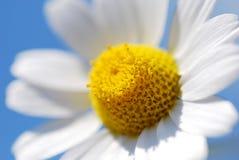 Marguerite parfaite Photos stock