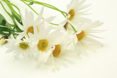 Marguerite Stock Photography