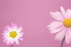 Marguerite on Pink background Royalty Free Stock Photo