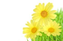 marguerite proche d'isolement vers le haut du jaune Image libre de droits