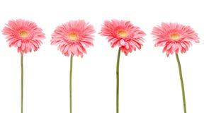 Marguerite quatre rose Photos libres de droits