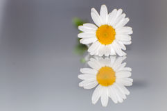 Marguerite Reflection Image libre de droits