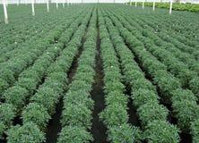 Marguerite rośliny w rzędach w szklarni Fotografia Royalty Free