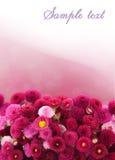 Marguerite rose Photo stock