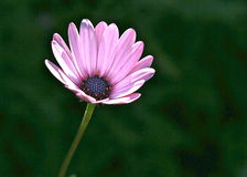 Marguerite rose Image stock