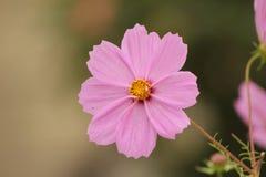Marguerite rose images libres de droits
