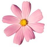 Marguerite rose Photo libre de droits