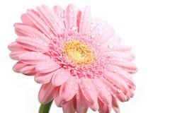 Marguerite rose avec des gouttelettes d'eau Image stock