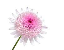 Marguerite rose avec la grande fleur centrale d'isolement Photographie stock
