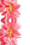 Marguerite rose dans l'eau Photo stock