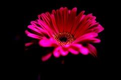 Marguerite rose dans l'obscurité Photographie stock