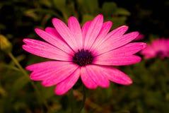 Marguerite rose dans un jardin photographie stock libre de droits