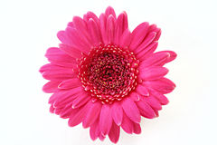Marguerite rose de Gerbera Images stock