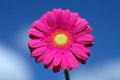 Marguerite rose de gerbera contre le ciel bleu image libre de droits