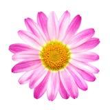Marguerite rose parfaite sur le blanc pur Photographie stock