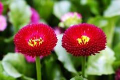 Marguerite rouge photo stock