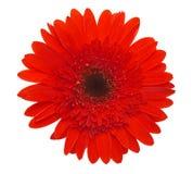 Marguerite rouge photo libre de droits