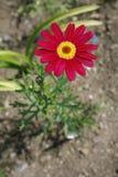 Marguerite rouge Photos libres de droits