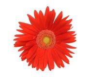 Marguerite rouge images libres de droits