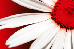 Marguerite rouge Photo stock