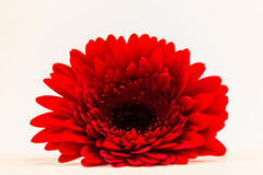 Marguerite rouge de Gerber Photo stock