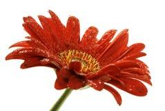 Marguerite rouge de gerber avec des gouttelettes Photos libres de droits