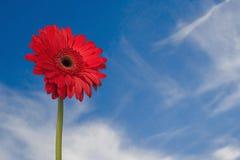 Marguerite rouge de Gerber avec le ciel Photo stock
