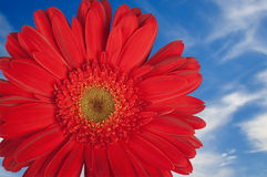 Marguerite rouge de Gerber avec le ciel Photographie stock libre de droits
