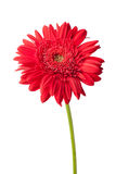 Marguerite rouge de gerbera photographie stock libre de droits