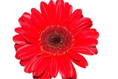 Marguerite rouge de gerbera Image libre de droits