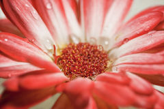 Marguerite rouge et blanche de Gerbera Photos stock