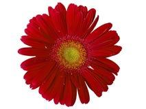 Marguerite rouge-foncé de Gerber Photo libre de droits
