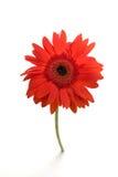 Marguerite rouge simple de gerber Photo stock