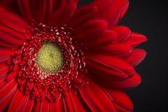 Marguerite rouge sur le noir Image stock