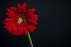 Marguerite rouge sur le noir Photographie stock