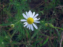 Marguerite simple en fleur Photo stock