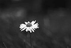 Marguerite solitaire en noir et blanc Images stock