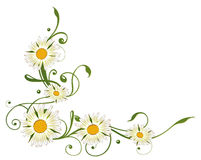 Marguerite stokrotka Zdjęcie Royalty Free